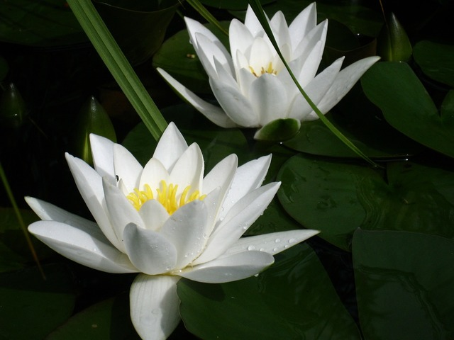 Water lilies white leaf, animals.