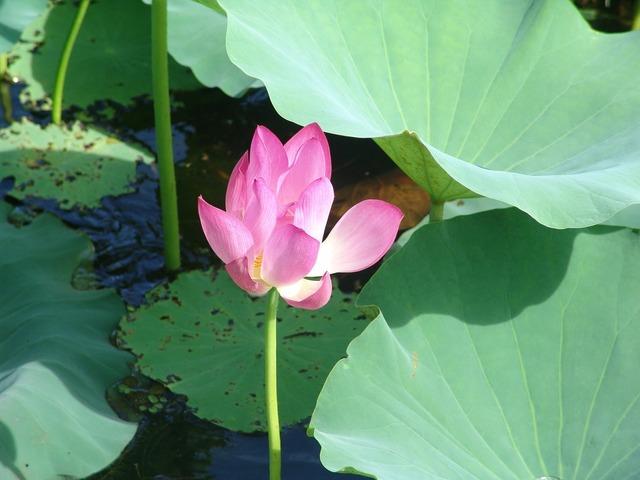 Water lily australia tropics.