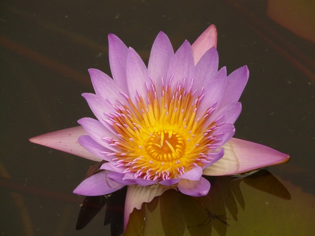 Water lily blossom bloom.