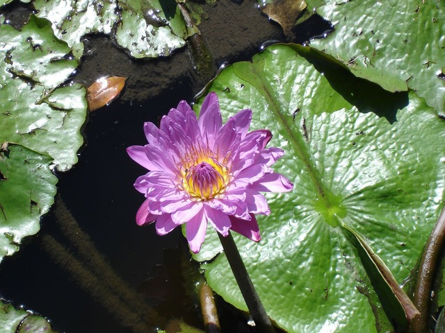 Water lily flower, nature landscapes.