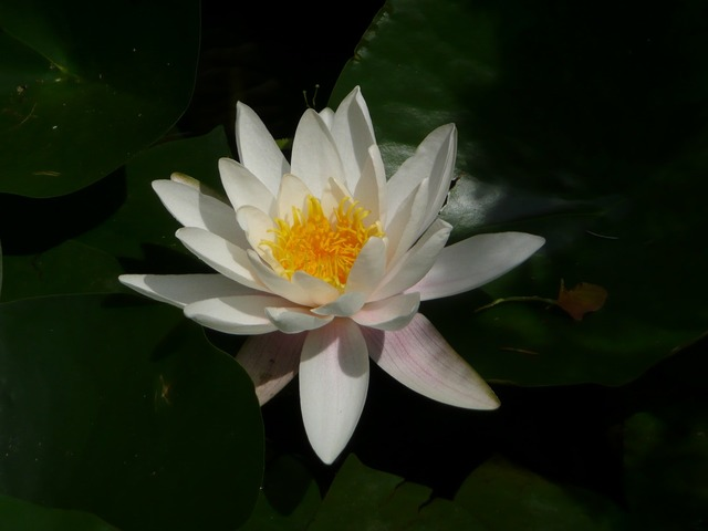 Water lily full bloom white.