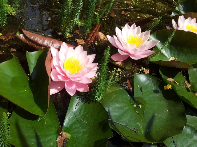 Water lily pink blossom.