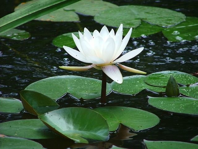 Water lily white sublime.