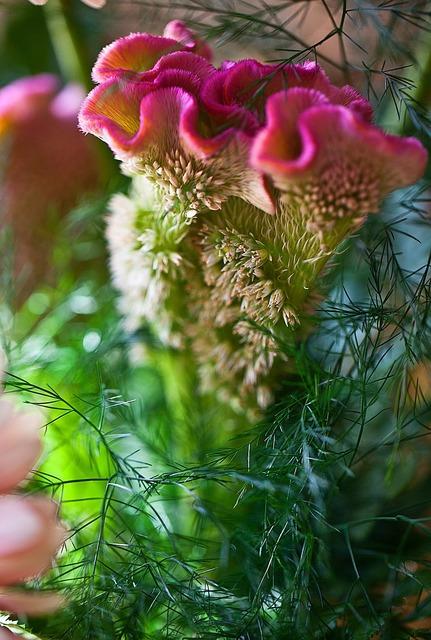 Wavy celozja a flower garden cut flower.