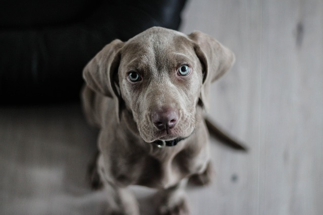 Weimaraner puppy dog, animals.