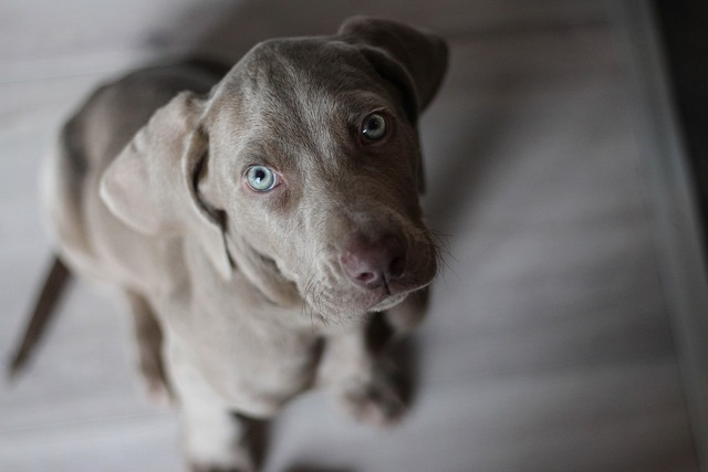 Weimaraner puppy snout, animals.
