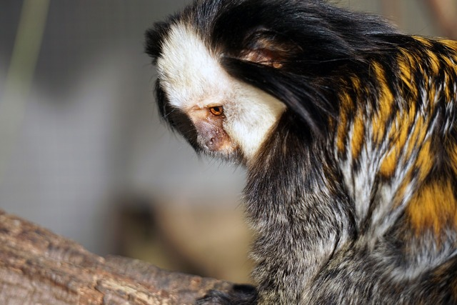 Weißgesichtseidenaffe monkey äffchen, animals.