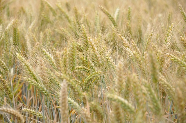 Wheat cereals wheat fields.