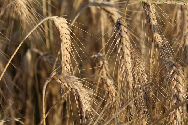 Wheat ears flour.