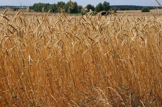 Wheat field grain.