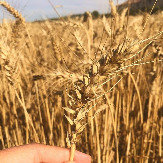 Wheat field summer.