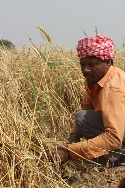 Wheat fields punjab patiala, people.