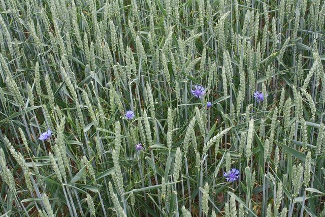 Wheat summer field.