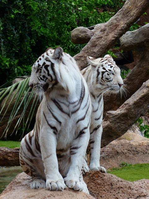 White bengal tiger tiger couples sit, animals.