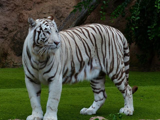 White bengal tiger tiger majestic, animals.