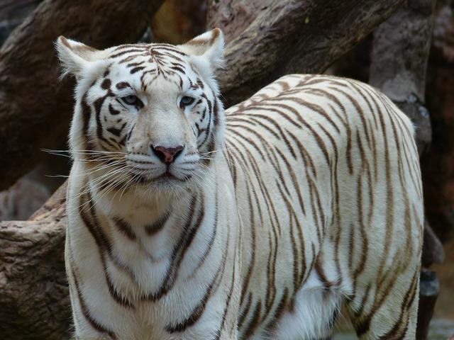 White bengal tiger tiger noble, animals.