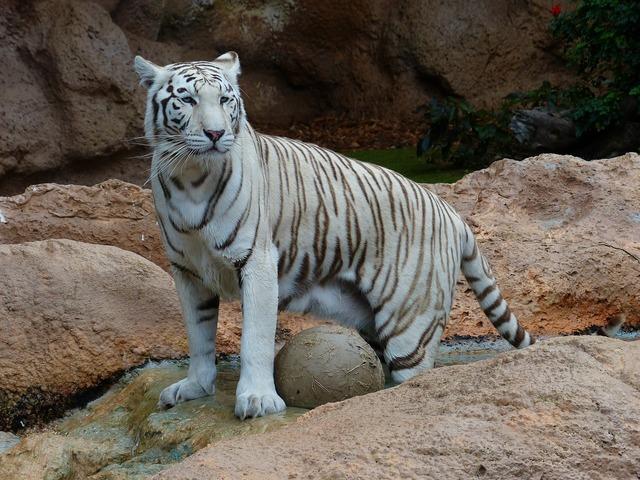 White bengal tiger tiger predator, animals.