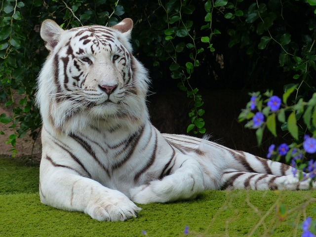 White bengal tiger tiger predator, animals.