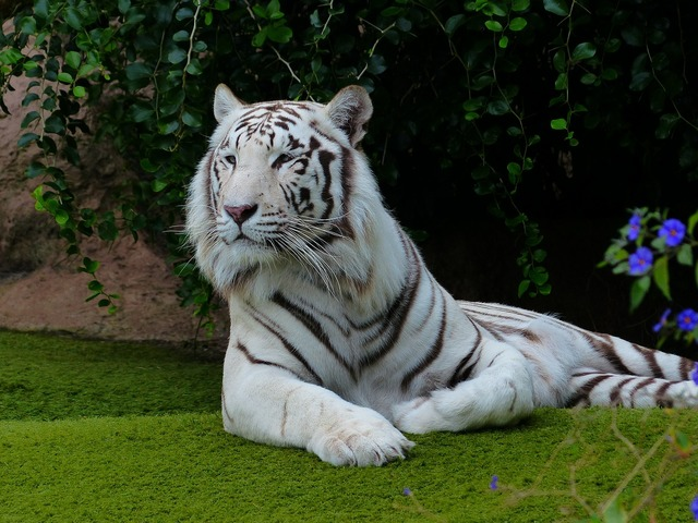 White bengal tiger tiger rest, animals.