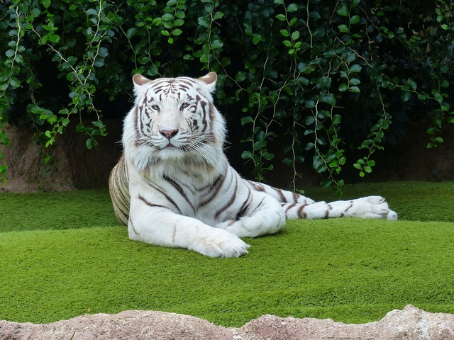 White bengal tiger tiger rest, animals.