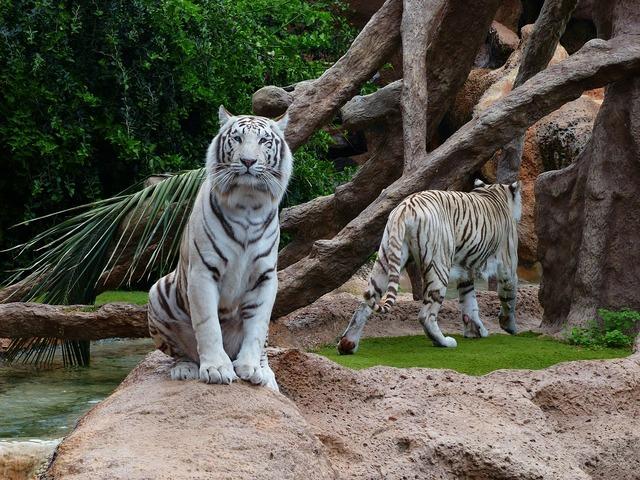 White bengal tiger tiger sit, animals.
