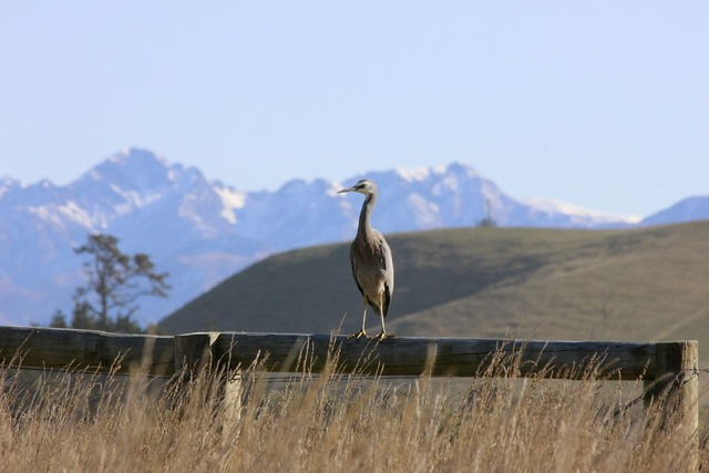White-faced heron bird mountains, animals.