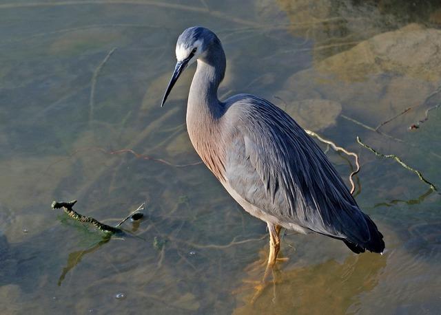 White faced heron bird wild, animals.