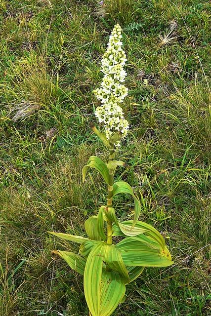 White germer veratrum album blossom, nature landscapes.