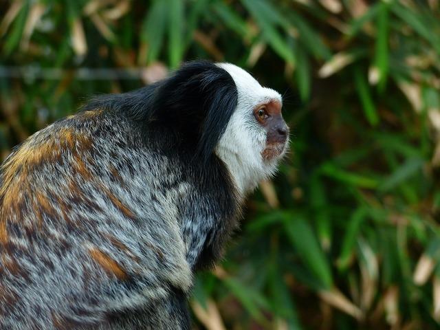 White-headed marmoset monkey äffchen.