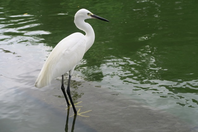 White heron little egret bird, animals.