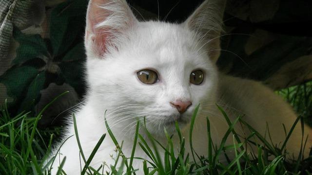 White kitten feline cat, animals.
