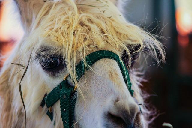 White llama domestic animal pet, animals.