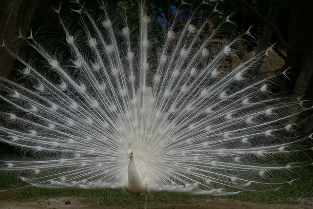 White peacock tail spread plumage, animals.