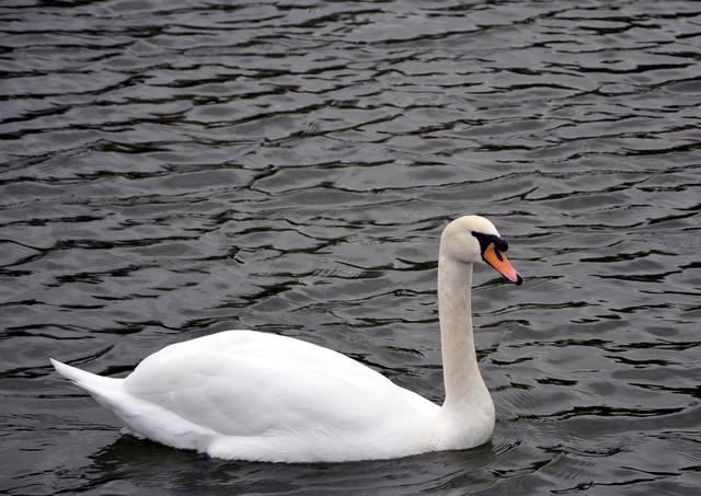 White swan river swimming.