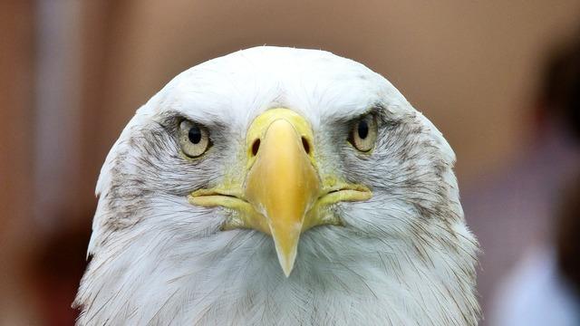White tailed eagle adler bald eagle.