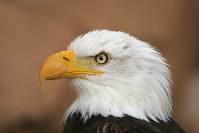 White tailed eagle adler raptor, nature landscapes.