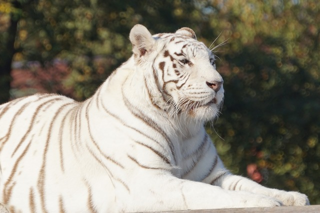 White tiger cat, animals.