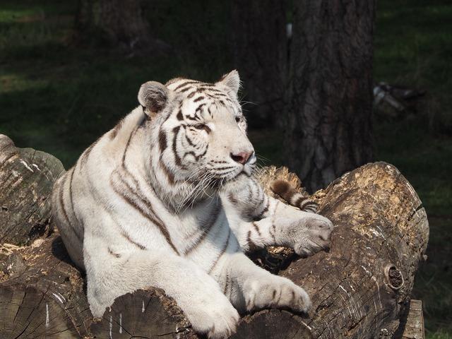 White tiger cat serengeti park, animals.