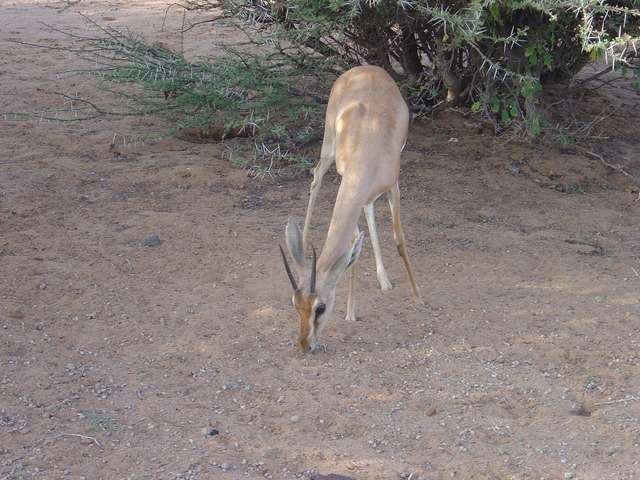 Wild animals gazelle dione djibouti.