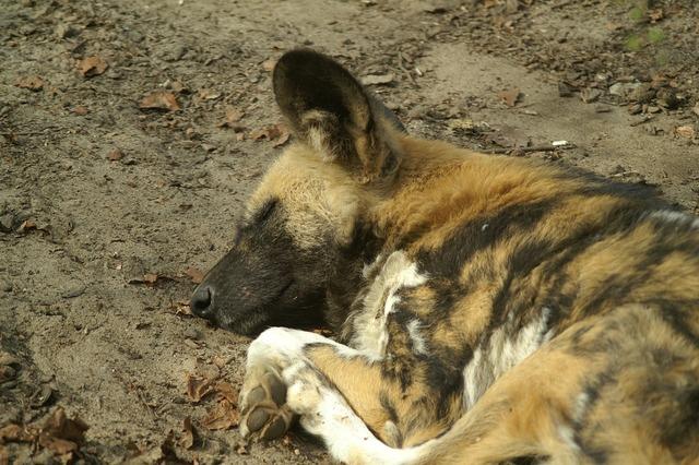 Wild dog africa dog, animals.