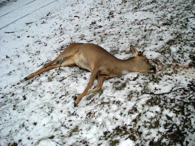 Wild fallow deer roe deer.