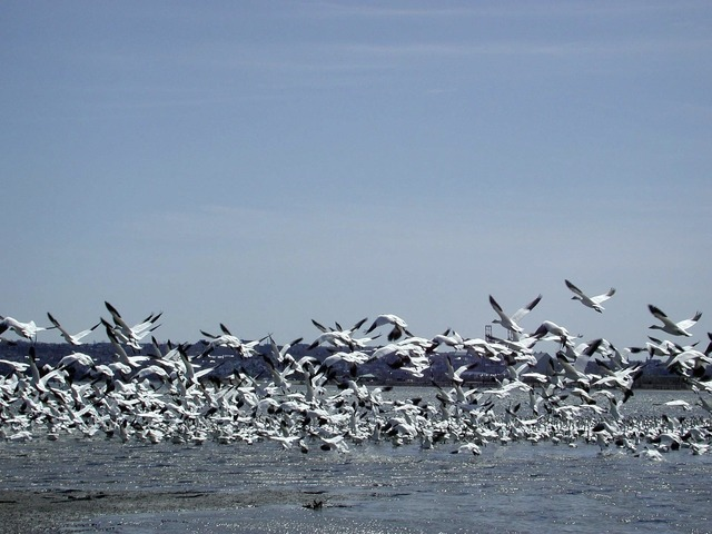 Wild geese flight river.