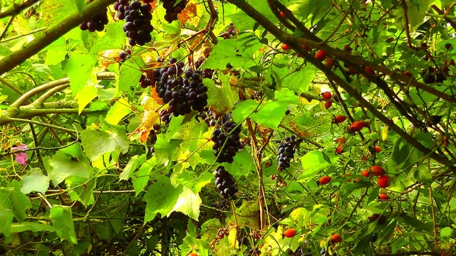 Wild grapes rose hip sweet, food drink.