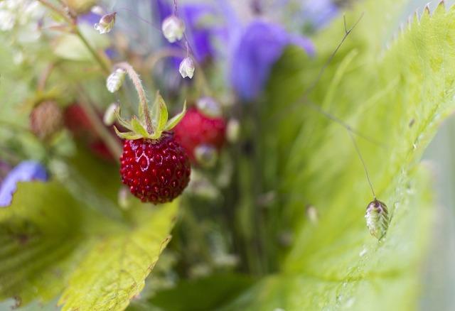 Wild strawberry strawberry wild, food drink.