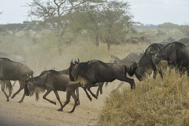 Wildebeests herd gnus.