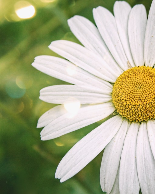 Wildflower daisy summer.