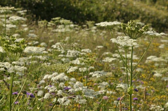 Wildflowers hogweed weed.