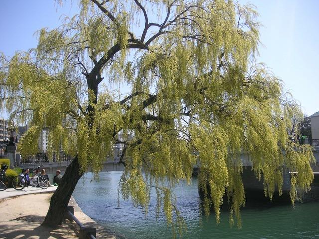 Willow hiroshima natural.