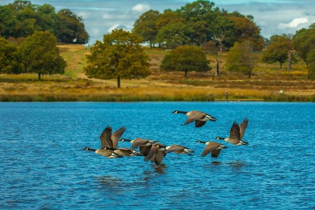 Wind geese lake migratory.