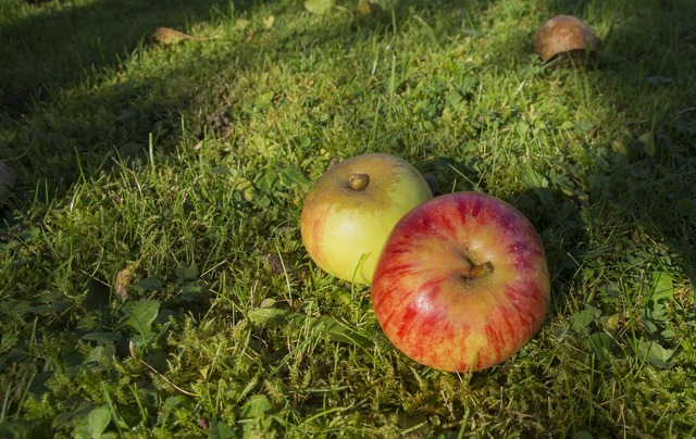 Windfall apple ripe, food drink.